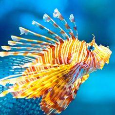 Lion Fish - (CC)Thomas Hawk - www.flickr.com/photos/51035555243@N01/5866485186