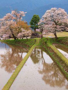 サクラの投稿写真。タイトルは屏風岩公苑と三多気の桜