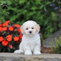 Bich-poo Puppy in Gordonville, PA Free Crochet Rose Pattern, Greenfield Puppies, Bichon Frise, Puppies For Sale, Poodle, Dogs, Animals, Animales, Animaux