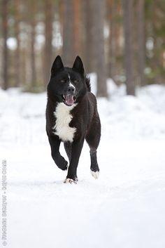 KARELIAN BEAR DOG/KARELIAN BEARHOUND