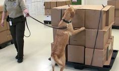 U.S. is training dogs to sniff out smuggled ivory and rhino horns.
