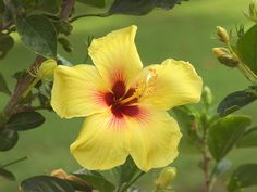 Hawai'i State Flower - Yellow Hibiscus Blossom #Hawaii