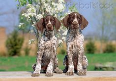 german shorthaired pointer puppies