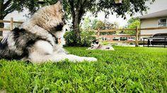 Watchful eye Giant Malamute, Husky, Eye, Dogs, Animals, Animales, Animaux, Pet Dogs, Doggies