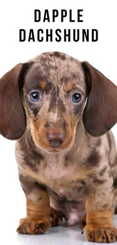 Blue dapple mini dachshund puppies for sale. They are great with children when raised with children. Dapple Dachshund Not Just A Pretty Coat Color Miniature… Dapple Dachshund Puppy, Dachshund Funny, Dachshund Puppies For Sale, Dachshund Quotes, Long Haired Dachshund, Mini Dachshund, Cute Puppies, Dachshund Gifts, Puppy Care