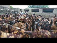 Scm goat farm Rajasthan Ajmer whatapp 9783132909 call 6350510278 All goat available Goat Farming, Goats, Female, Youtube, Youtubers, Youtube Movies, Goat