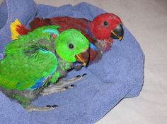 Adorable baby Eclectus!