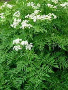 SPANSK KJØRVEL - Myrrhis odorata Schnapps, Container Gardening, Outdoor Gardens, Healthy Recipes, Healthy Food, Flora, Seeds, Plants, Sore Throat
