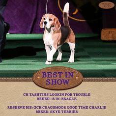 """""""Best in Show of the 139th Westminster Kennel Club Dog Show is """"Miss P"""" the 15 in. #Beagle! #WKCDogShow"""""""