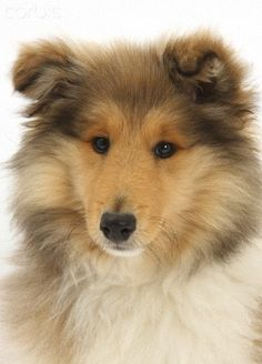 Rough Collie puppy, 14 weeks. Omg what a beautiful doggy