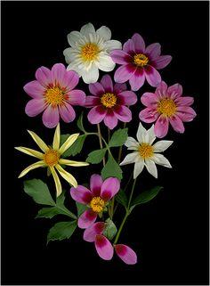 Single Petal Dahlias - La Vie En Rose (Pinks) 2 - Scanner Photography By Ellen Hoverkamp
