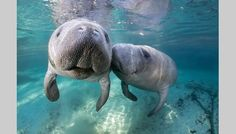 Crystal River, in Citrus County, is the only place in Florida where people can legally swim with endangered manatees.