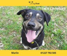 Marlin at Dogs Trust Canterbury is a shy boy who would benefit from further confidence training in the home. He is worried by other dogs so will need help with socialisation to make new friends . Marlin enjoys chasing after tennis balls and likes his food which is ideal for training. He is unsure of new people so will need help with this. Marlin has lots of potential to be a rewarding dog in the right home.