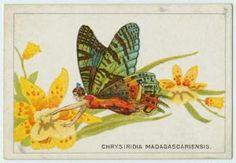 Chrysiridia madagascarienis.