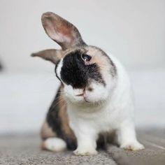 calico bunny rabbit
