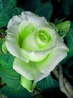 Shade Garden Flowers And Decor Ideas Rosa Perfecta Beautiful Rose Flowers, Love Rose, Exotic Flowers, Green Flowers, Yellow Roses, Amazing Flowers, Red Roses, Beautiful Flowers, Pretty Roses