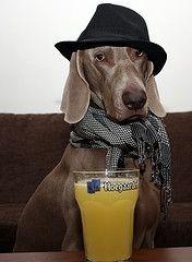 Weimaraner Dog Dressed Up