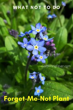 Forget-me-not plants are special plants. Its seeds can stay dormant in the soil for up to 30 years. There are some people who call them 'mouse's ear' due to its tiny size and its ear-shaped flowers. For more details and great tips check out my blog post on Forget-Me-Not Plant - What Not To Do. The best tips on gardening for beginners #plants #ForgetMeNot #gardening #gardeningtips #healthyplants #growingplants #flowers #gardeningfever Types Of Flowers, Types Of Plants, Cool Diy, Gardening For Beginners, Gardening Tips, Biennial Plants, Good Environment, Backyard Farming, Forget Me Not