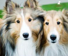 Shelties Dogs