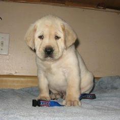 cute-labrador-retriever-pup-300x300.jpg (300×300)
