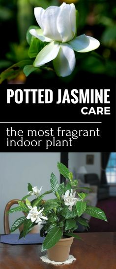 Jasmine is the most fragrant flower, and the shrub is a real treasure in apartment. It is really easy to care for and this article shows you how to.