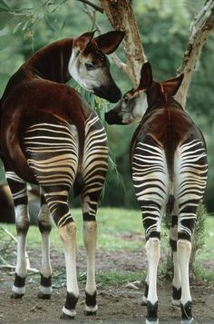 The Okapi, Okapia johnstoniThe Okapi is a giraffid. The Okapi, Okapia johnstoniThe Okapi is a giraffid native to the northeast of the Democratic Republic of the Congo in Central Africa. Although the Okapi bears striped markings reminiscent of zebras,… Unusual Animals, Rare Animals, Animals Beautiful, Animals And Pets, Wild Animals, Zoo 2, African Animals, Endangered Species, Exotic Pets