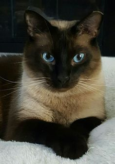 Siamese Cats, Cats And Kittens, Kitty Cats, I Love Cats, Cute Cats, Tonkinese Cat, Feral Cats, Burmese, Balinese