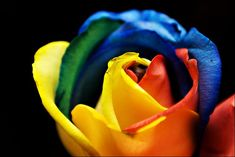 The rainbow rose is a rose which has had its petals artificially coloured. The colouring method exploits the rose's natural processes by which water is drawn up the stem. By splitting the stem and dipping each part in a differently coloured water, the colours are drawn into the petals resulting in a multicoloured rose. Besides roses, other cut flowers can also be coloured using the same method.
