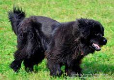 El Terranova es una raza de perro grande, muy bello y de carácter tranquilo. Razas de perros. Foto (The Newfoundland is a large dog breed, very beautiful and calm nature (quiet character). Dog breeds. Photo)