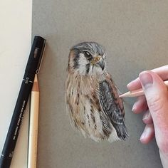 Color Pencil Drawing Tutorial An American Kestrel in pen and pencil. by the very talented wildlife photographer Bird Drawings, Pencil Art Drawings, Realistic Drawings, Animal Drawings, Black Pen Sketches, Eagle Drawing, Color Pencil Sketch, Pencil Drawing Tutorials, Bird Illustration