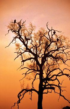 Vultures in Kruger National Park, South Africa