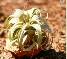 The Queen of air plants! Xerographica is endemic to Mexico and produces a spectacular bloom that can be 4 times the plant's height! Their popularity almost caused them to go extinct due to collector demand but they are widely available now due to nurserymen. Check out our website for more information on what air plants we offer www.allthebloom.com #bloomcertified #terrarium #terrariums #airplant #airplants #garden #apartment #home #travel #atlanta #Canada #marietta #orchid #landscape #art…