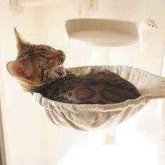 yawn  #cat #catsofinstagram #cats #catstagram #instacat #catlover #catoftheday #bengal #bengalcat #oz #ねこ #猫 #ねこ部 #ねこすたぐらむ #猫部