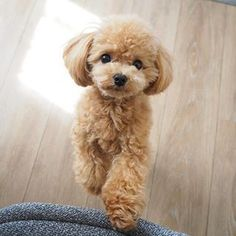 Super Cute Puppies, Cute Little Puppies, Cute Cats And Dogs, Cute Dogs And Puppies, Doggies, Mini Poodles, Toy Poodles, Standard Poodles, Toy Poodle Apricot