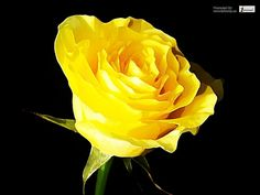 awesome Yellow rose in black background wallpaper by http://epicflowers.gdn/index.php/2017/02/18/yellow-rose-in-black-background-wallpaper/
