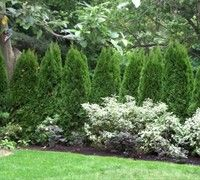 Emerald Green Arborvitae - (Thuja occidentalis <a href='/Plants/179/Shrubs/Emerald-Green.html'>'Emerald Green'</a>) - Shrubs