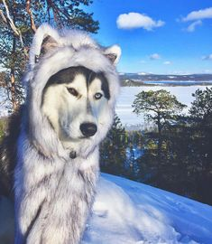 "12.1k Likes, 72 Comments - Husky (@huskies) on Instagram: ""Tag your friends Follow me @huskies for more❤️ Pic by @siberianhusky_jax"""