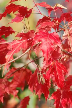 Amur is a type of maple tree. It is known for its brilliant red fall foliage. So what could possibly be the downside of planting this beauty? Find out here: http://landscaping.about.com/cs/fallfoliagetrees/a/fall_foliage7.htm