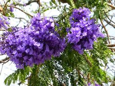 Jakaranda-Blüten Safari, Vegetables, Plants, Cape Town, Longing For You, Travel Advice, Destinations, Vegetable Recipes, Plant