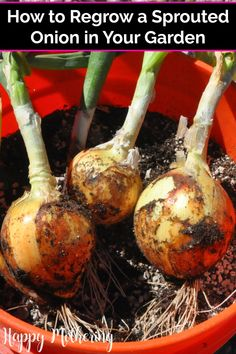 Step-by-step how to plant a sprouted onion with video. Along with tips, from sprouting to growing onion sets and planting them in containers with soil Green Onions Growing, Growing Herbs, Growing Tomatoes, Planting Vegetables, Growing Vegetables, Regrow Vegetables, Vegetable Gardening, Veggie Gardens, Organic Gardening