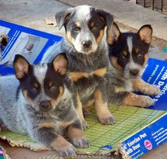 Nothing is cuter than cattle dog pups!