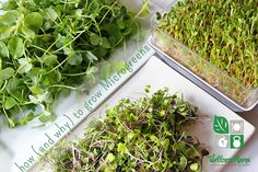 Delicious Microgreens are nutrient powerhouses that you can easily grow in your own kitchen from vegetable and herb seeds.
