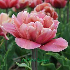 Moderne dubbele tulpen | Bloembollentips