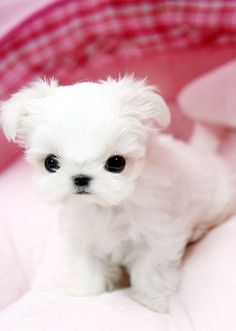White Puppies, Puppies And Kitties, Baby Puppies, Pet Dogs, Doggies, Teacup Dog Breeds, Teacup Puppies, Teacup Poodles, Baby Maltese