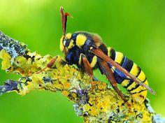 Entomologando: pszczoły lub motyla? Apiformis Sesia