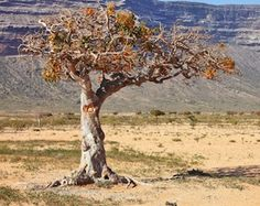 A beautiful myrrh tree. Myrrh essential oil is steam distilled from resin, extracted from the myrrh tree