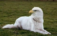 eagle dog