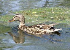 Animals del nostre entorn: Ocells - L'ànec collverd