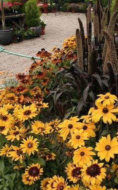 Fall flowers - Ornamental Millet (looks like AAS Gold Medal Winner Purple Majesty) surrounded by rudbeckias