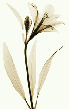 Lily xray RADIOGRAPHX-RAY PHOTOGRAPHY / X-RAY ART More At FOSTERGINGER @ Pinterest